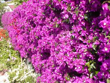 Arbusti rampicanti nani ornamentali striscianti for Cespugli fioriti da giardino