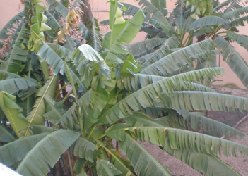 Banano musa la pianta dieci e lode - Pianta banano ...